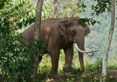 Слон, бредущий сквозь джунгли